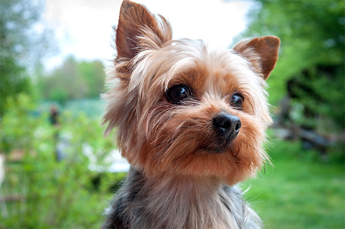 is the yorkie a good pet