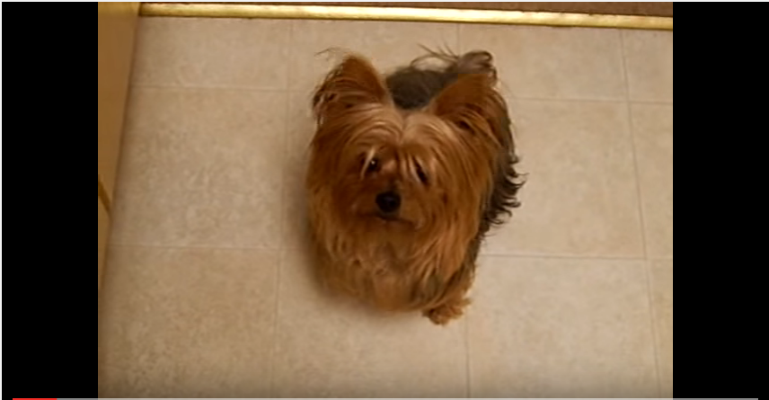 yorkshire terrier sings a song