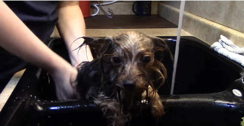 How To Properly Bathe Your Yorkie