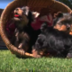 yorkie puppies playing in grass