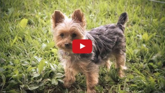 A Day In the Life of Piper the Yorkie