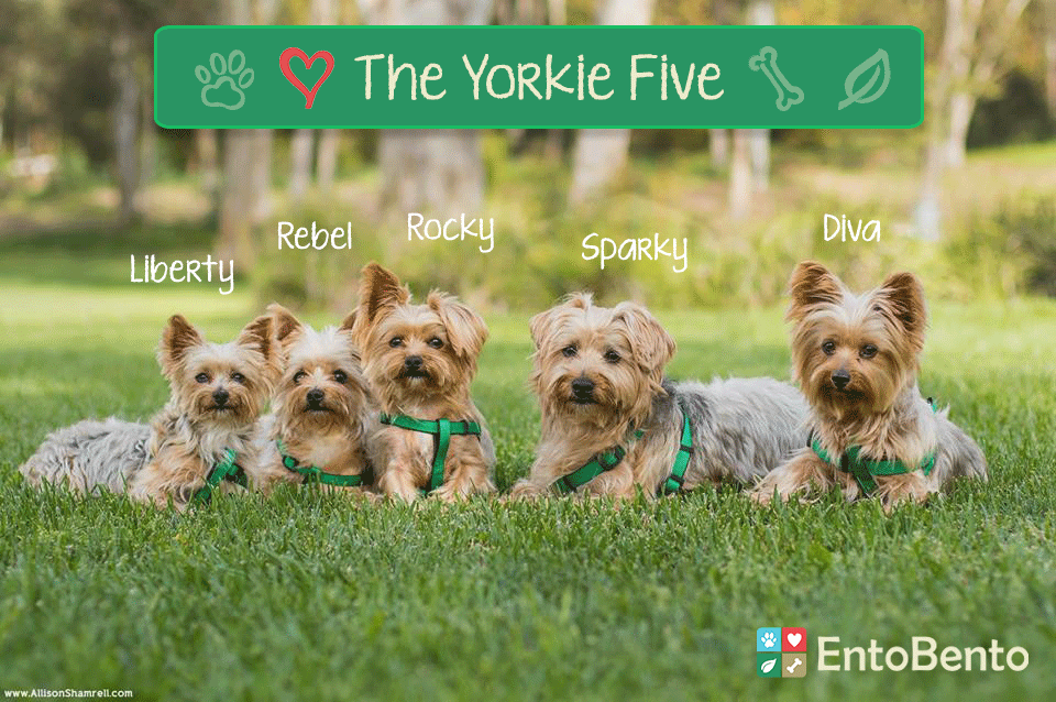 Move Over Jackson Five – Here Comes the Yorkie Five!