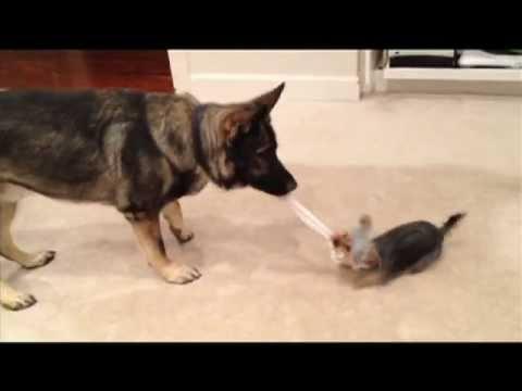 Yorkie and German Shepherd Plays Tug of War