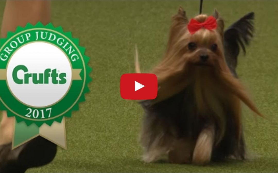 Japanese Yorkie Wins at Crufts 2017
