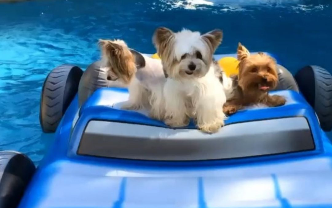 Yorkies Just Wanna Have Fun… On a Floating Raft!