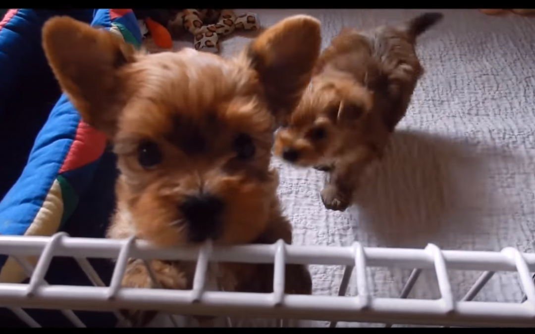 Puppy Therapy Time with Six Week Old Yorkie Puppies!