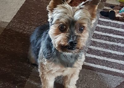 Parker the Yorkie