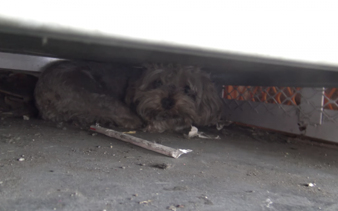Dramatic Hope For Paws Video Shows How a Tiny Yorkie Hiding Underneath Propane Tanks Gets Rescued!