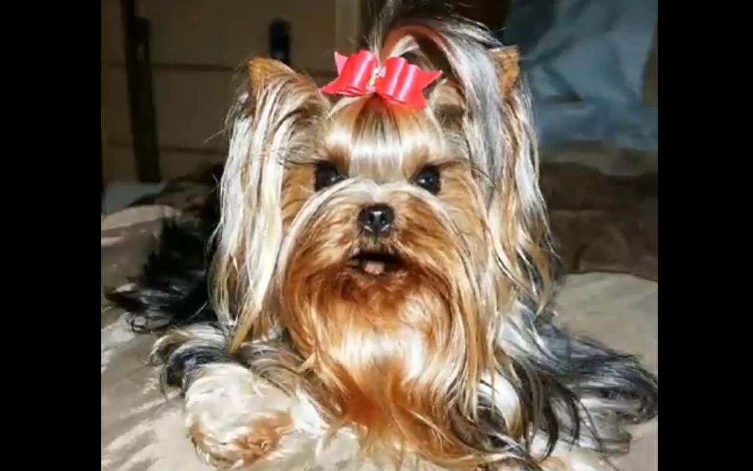 Real or Not? Yorkie Can Sing Happy Birthday