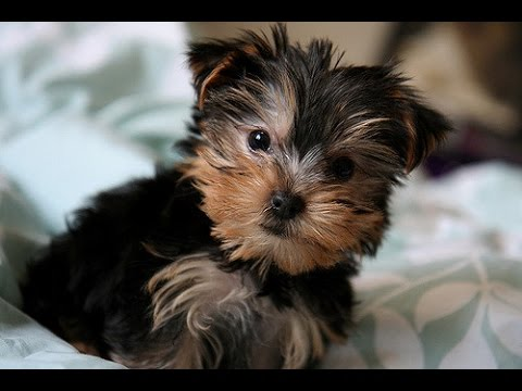 Cute Yorkies Compilation