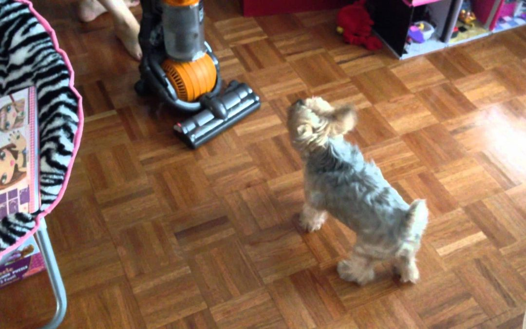 Little Yorkie Vs. Big Vacuum