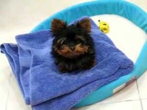 Little yorkie Chewie trying to get mommy's undivided