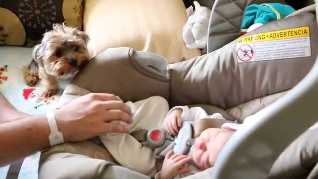Adorable Yorkie Pup's Cute Reaction After Seeing New Baby Sister