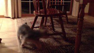 Little yorkie Rudy gets dizzy