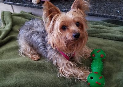 Beautiful Brandi the Yorkie!