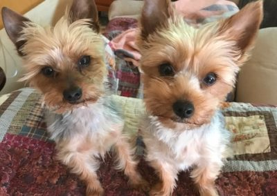 two yorkie puppies