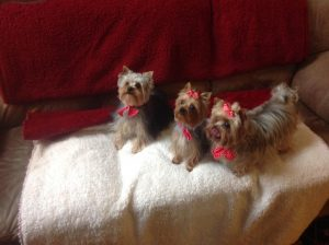 three yorkshire terriers