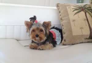 dressed up yorkie sitting on couch