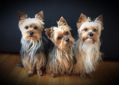 trio of yorkshire terriers