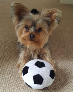 yorkie with soccer ball