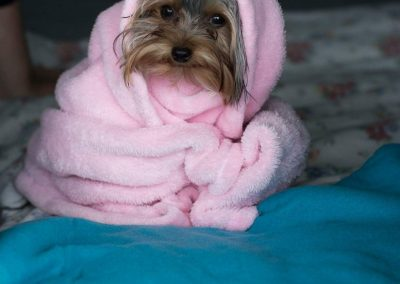 Kenzo the Yorkie is Snug as a Bug in a Rug