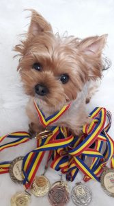 yorkie with medals