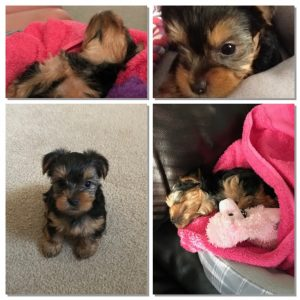 yorkie collage