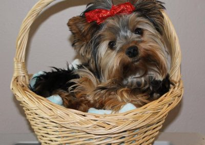 yorkie dog in a basket