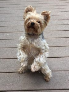 yorkshire terrier standing on two legs