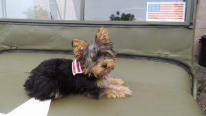sitting yorkie dog