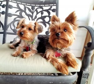 a pair of yorkie dogs