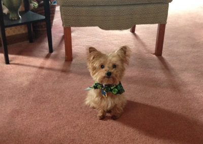 yorkshire terrier dog sittting