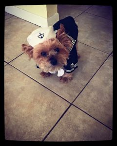 yorkie dog wearing sailor outfit