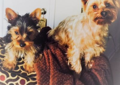 Rhett and Scarlett are Two Cute Yorkies!