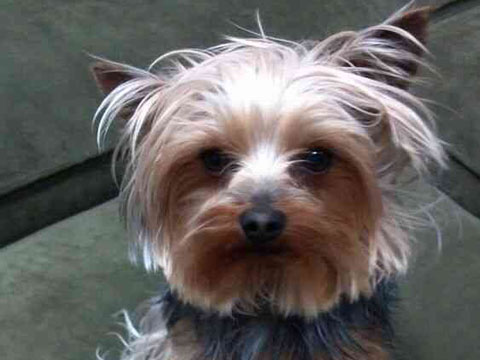 Is a Male or Female Yorkie Right for You? Busting the Myths