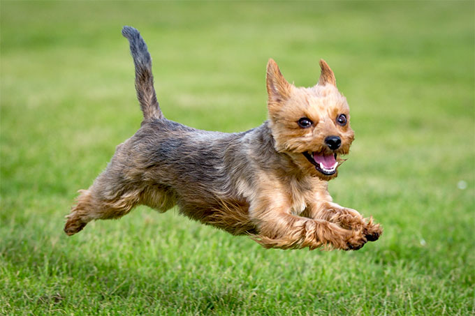 The History of the Yorkshire Terrier Breed