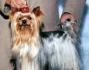 yorkie show dogs