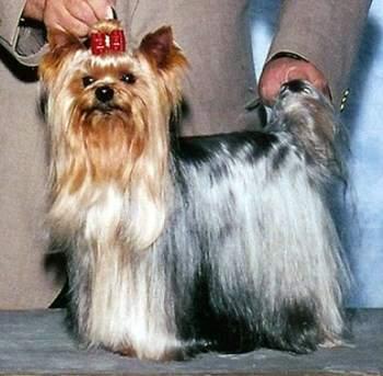 yorkie breed info