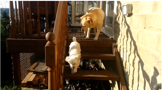 Dog Helps Labrador Friend Overcome Fear of Stairs