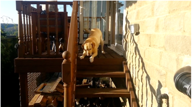 dog helps labrador friend
