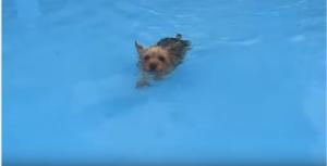 yorkies swimming in the pool