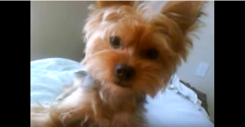Video  of  a  Talking  Yorkie  Goes  Viral!!