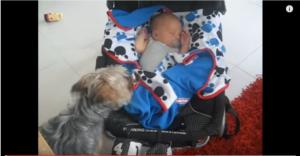 yorkie tucks in baby