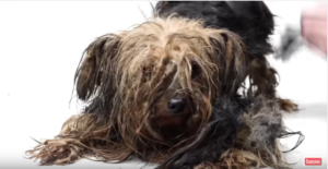 yorkie used for breeding his entire life gets an amazing transformation