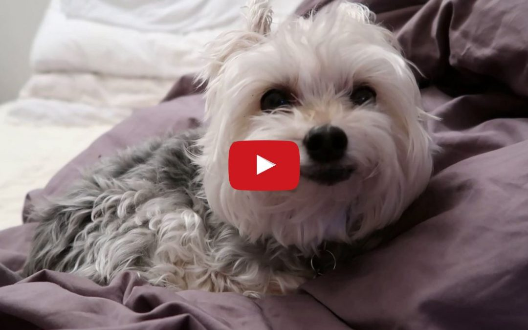 Yorkie Gets AMAZING New Look After Haircut!