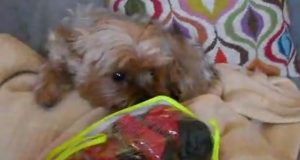 yorkie and red snow boots