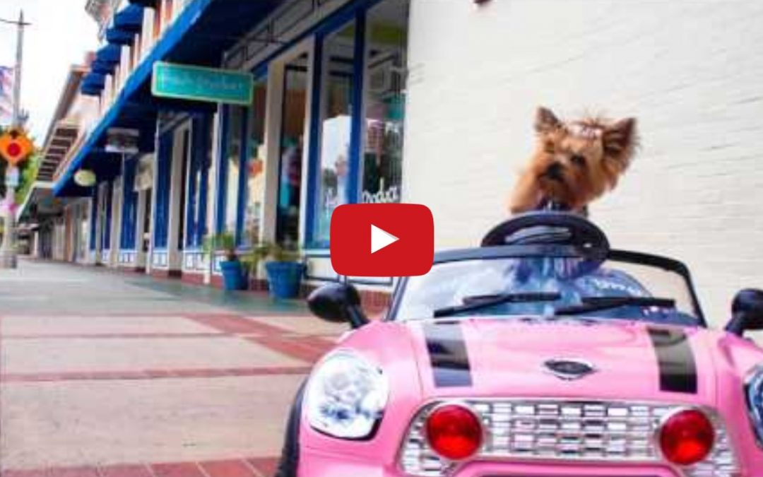 Cute Little Yorkie Drive Her Mini Car Around!