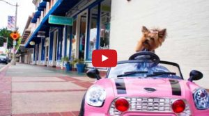 yorkie dog driving mini car