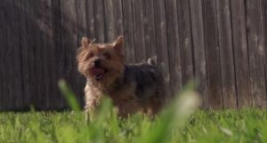 yorkie playing with bubbles