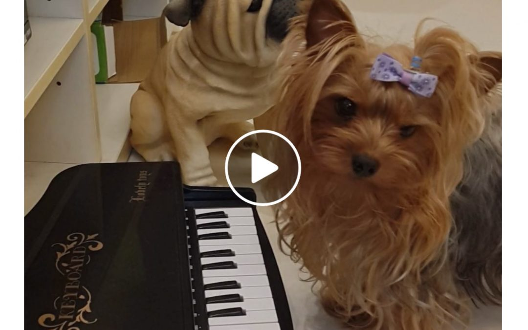 This Little Yorkie Can Play the Piano